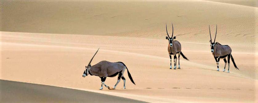 Impala in Namibia Desert
