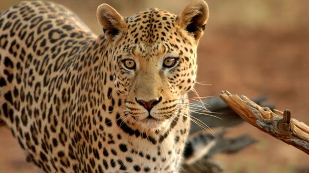 Leopard at Okonjima Namibia