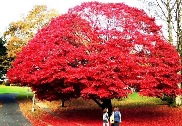 Maple Tree in Ambleside Leaf Peeping in Autumn - photo Zoe Dawes
