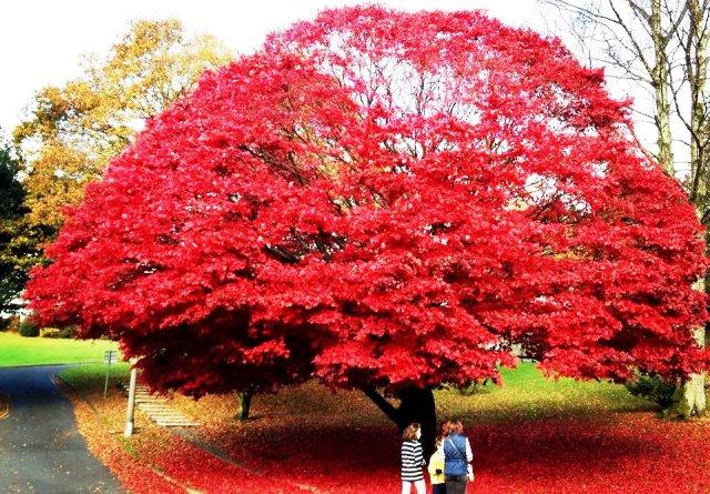 Maple Tree in Ambleside Leaf Peeping in Autumn - photo Zoe Dawes