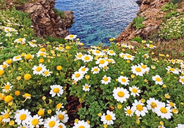 Marguerites on cliff top overlooking Addaya Bay, Menorca Spain - image ZoeDawes