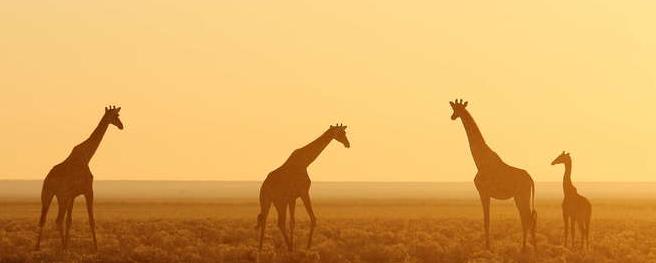 Giraffes in Namiba Africa