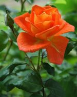 Orange Rose and bud