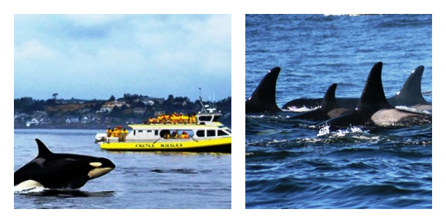Orcas in Victoria with Prince of Whales tour - British Columbia Canada