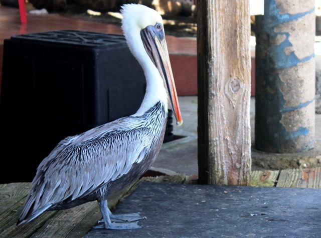 Pelican at The West Deck Aruba - image zoedawes