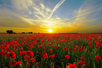 Field of Poppies at sunset - They shall not grow old