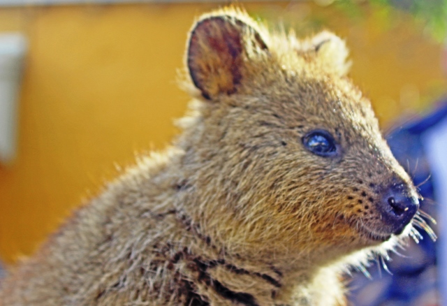 The Quirky Quokka of Rottnest Island Western Australia - photo zoedawes