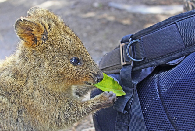 Quokka eating a leaf - Rottnest Island in Western Australia - photo zoedawes