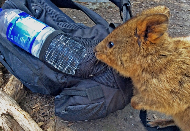 Up close with a quokka - Rottnest Island - photo zoedawes