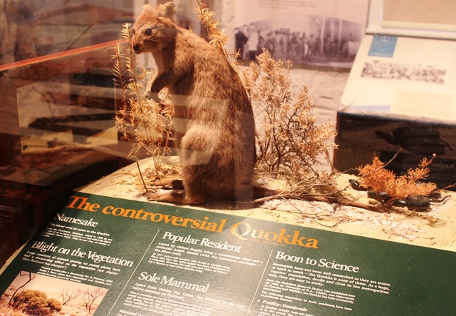 Stuffed quokka in Rottnest museum