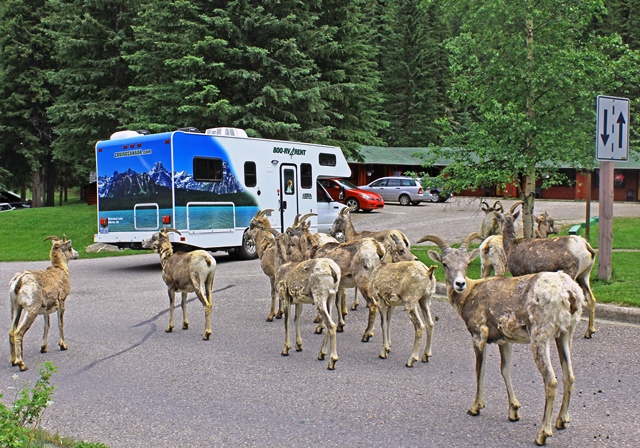 Rocky Mountain Sheep at Miette Hot Springs - RV road trip Canada - image zoedawes
