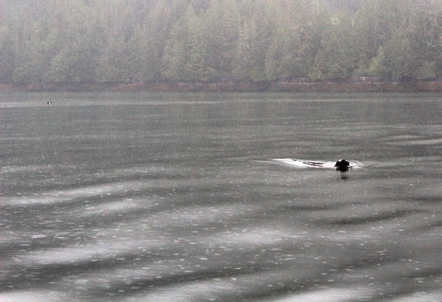 Sea lion in the rain Knight Inlet BC Canada - photo zoedawes