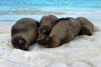 Sealions on Gardner Bay beach galapagos - The Quirky Traveller
