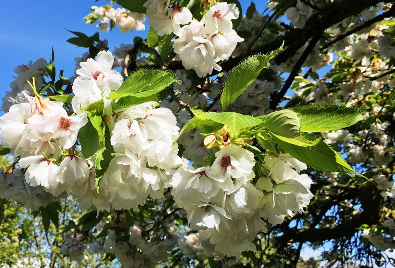 Blossom in Britain in spring