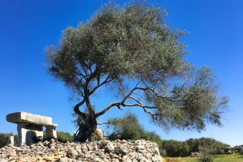 Ancient olive tree beside prehistoric ruins at Talati de Dalt on Menorca in the Balearics, Spain. - photo Zoe Dawes