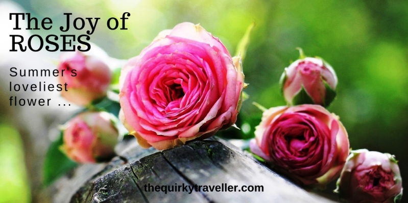 Pink roses on a wooden bench - The Quirky Traveller