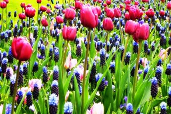 Tulips and lavender Keukenhof Gardens Holland - photo Zoe Dawes