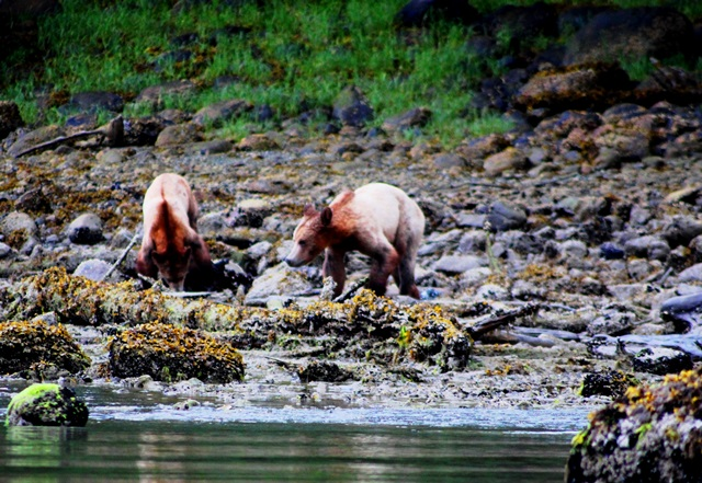 Grizzly bear cubs Knight Inlet BC Canada - photo zoedawes