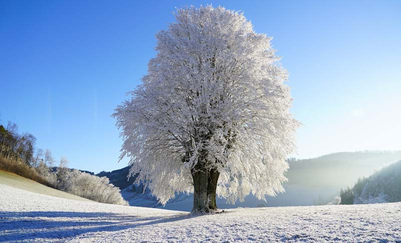 Winter is coming - hoar frost on tree